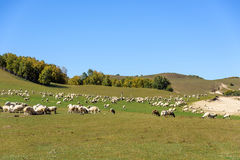 A flock of sheep in the meadow royalty free stock photo