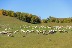 A flock of sheep in the meadow royalty free stock photos