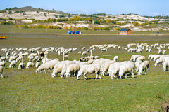 A flock of sheep in the meadow stock image