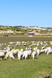 A flock of sheep in the meadow stock photography