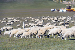 A flock of sheep in the meadow stock photos