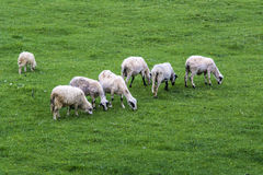 Flock of sheep in the meadow Royalty Free Stock Photos