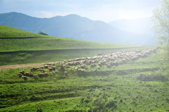 Flock of sheep in the meadow. Romania Royalty Free Stock Photo