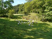 Flock of sheep in meadow Stock Image