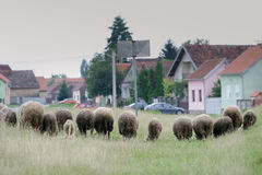 Flock of sheep on meadow in village Royalty Free Stock Images