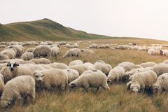 Sheep on meadows. Flock of sheep on meadows, close-up view stock photo