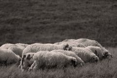 Sheep on meadows Stock Images