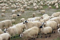 Flock of sheep. Are migrating Royalty Free Stock Photography