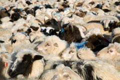 Flock of sheep mixed with goats Stock Photos