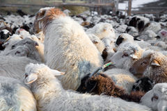 Flock of sheep mixed with goats Royalty Free Stock Photo