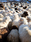 Flock of sheep mixed with goats Stock Photography