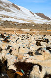 Flock of sheep mixed with goats Royalty Free Stock Photos