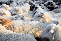 Flock of sheep mixed with goats Stock Images