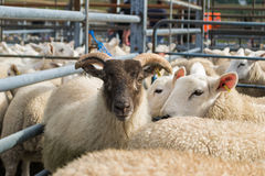 Flock of sheep mixed with goats. In a fenced pen Royalty Free Stock Photography