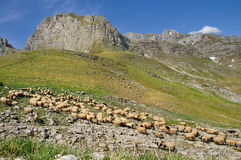 Flock of sheep in the mountain of Durmitor Royalty Free Stock Photo