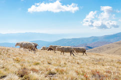 Flock of Sheep on the mountain Royalty Free Stock Photo