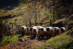 Flock of sheep on mountain pasture Stock Photography