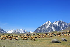 Flock of sheep on mountain pasture Stock Image