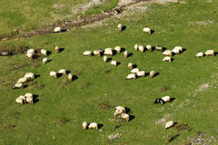 Flock of sheep on mountain pastures Royalty Free Stock Photos