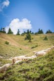 Flock of sheep on mountain pastures Stock Photography