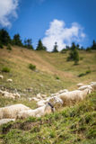 Flock of sheep on mountain pastures Royalty Free Stock Photography