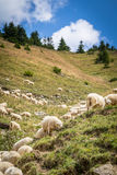 Flock of sheep on mountain pastures Royalty Free Stock Images