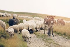 Sheep and donkey on mountain peaks. Flock of sheep on the mountain peaks, close-up view Stock Image