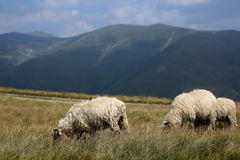Sheep grazing the grass on mountain peaks Stock Photos