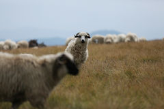 Sheep grazing the grass on mountain peaks Royalty Free Stock Image