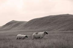 Sheep on mountain peaks, full portrait Stock Photography