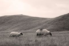 Sheep on mountain peaks, full portrait Royalty Free Stock Photography