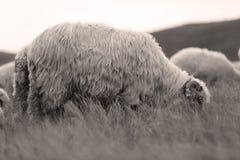 Sheep on mountain peaks, full portrait Stock Images