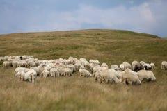 Sheep on mountain peaks, full portrait Stock Image