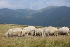 Sheep on mountain peaks, full portrait Royalty Free Stock Photos
