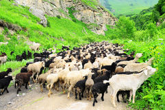 Flock of sheep. On a mountain road Stock Photography