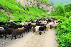 Flock of sheep. On a mountain road stock image