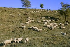 Flock of sheep in mountain side Stock Image