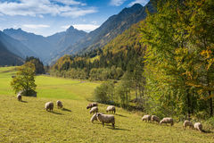 Flock of sheep in a mountain valley Stock Images