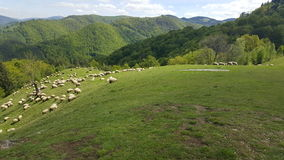 A flock of sheep in a mountain valley. A flock of sheep grazing in a mountain valley Stock Images