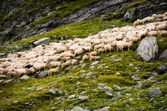 Flock of sheep in the mountains.  stock photography