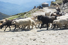 Flock of sheep in the mountains Stock Photos