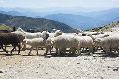 Flock of sheep in the mountains Royalty Free Stock Photo