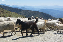 Flock of sheep in the mountains Stock Image