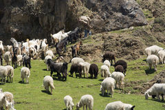Flock of sheep in the mountains Stock Images