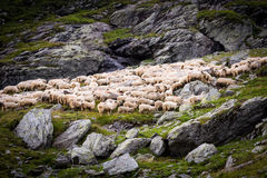 Flock of sheep in the mountains. Green grass and grey stones, wall of rocks is in the background and several stones is located in the front part royalty free stock photo