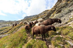 Flock of sheep in the mountains, Hohe Tauern Alps Stock Photography