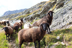 Flock of sheep in the mountains, Hohe Tauern Alps Stock Image