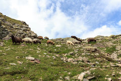 Flock of sheep in the mountains, Hohe Tauern Alps Royalty Free Stock Photography