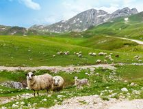 Flock of sheep in the mountains Royalty Free Stock Photos