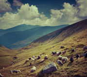 Flock of sheep  in the mountains. Royalty Free Stock Images